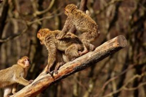 berber-monkeys-2272539_1280